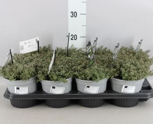 Thymus citriodorus 'Silver Queen'