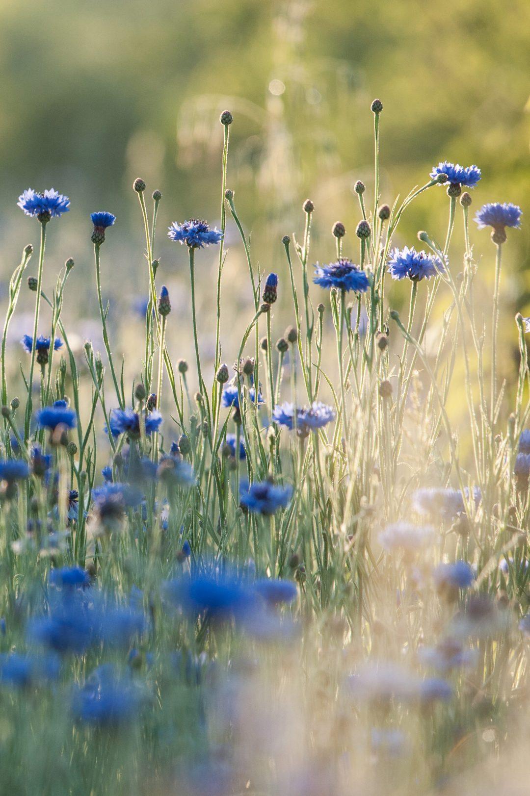 Les Fleurs de Basile : producteur de plantes et de cosmétiques agroécologiques