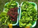 Lil gardeners love helping me harvest the lettuce with their wagons!