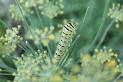 swallowtail110
