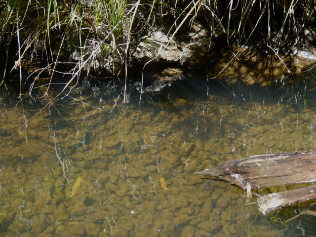 A trout lies under a bank in a small stream