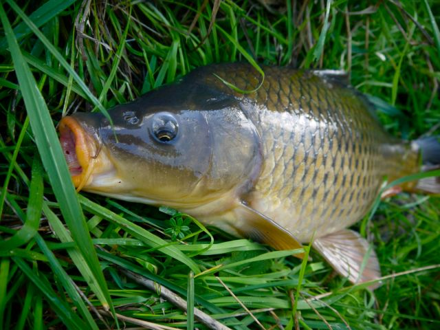 Carp on fly. A fun winter challenge close to home