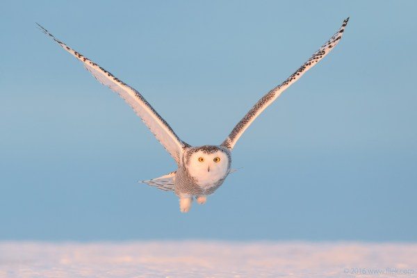 Snow Owl14-part3