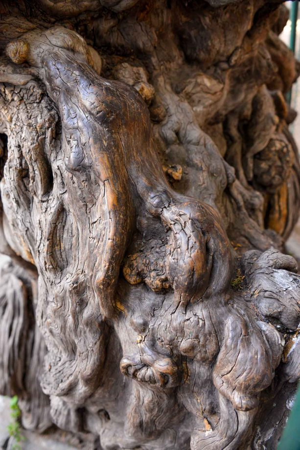 Ancient Cypress tree detail - The Imperial Garden