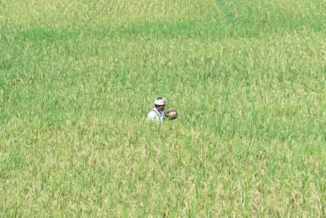 Balinese man walking in the rice fields on Galungan day