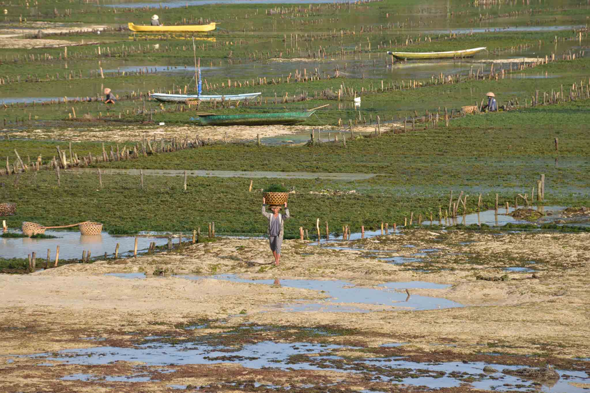 Low tide in Nusa Lembongan reveals the vast and intricate seaweed farms