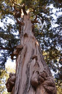 An ancient cypress tree at the Imperial Gardens in the Forbidden City