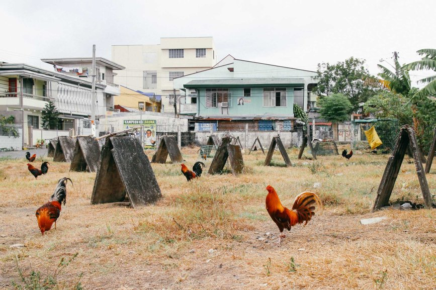 Rooster_Fighting_Philippines_01