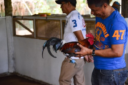 Rooster_Fighting_Philippines_12