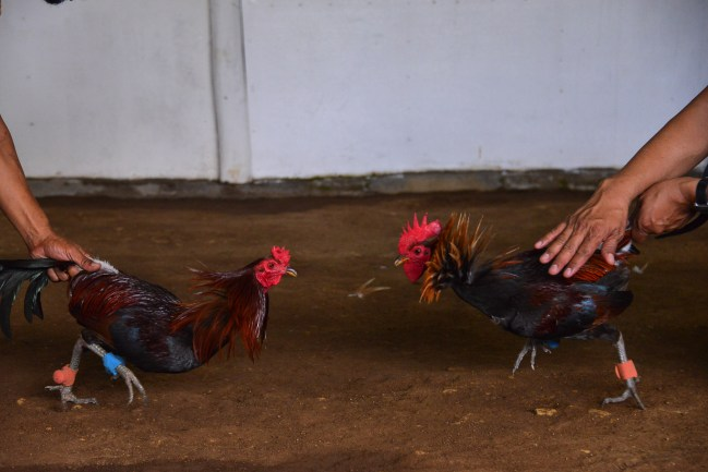 Rooster_Fighting_Philippines_15