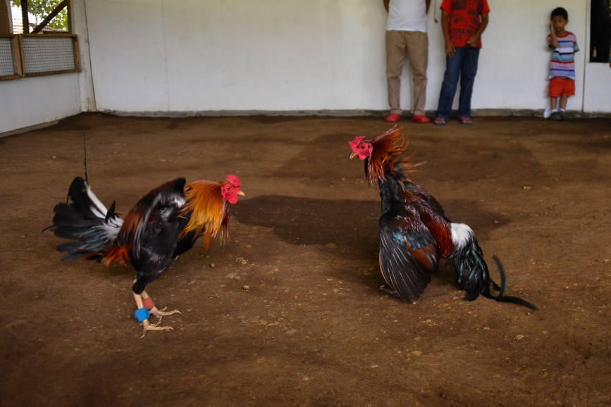 Rooster_Fighting_Philippines_17