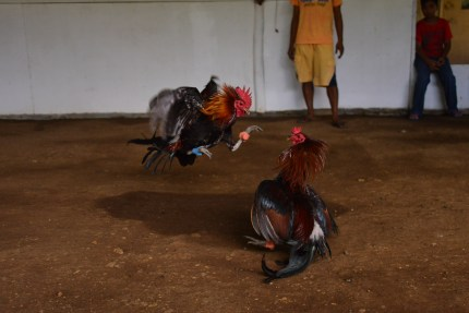 Rooster_Fighting_Philippines_19