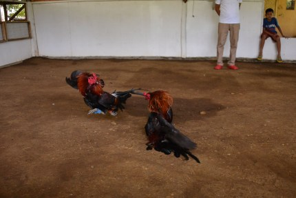 Rooster_Fighting_Philippines_24