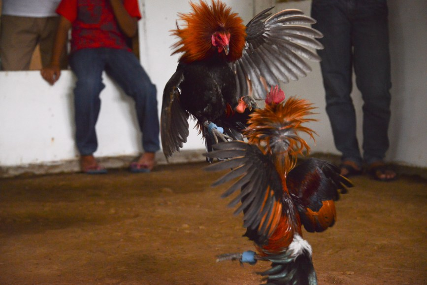 Rooster_Fighting_Philippines_28