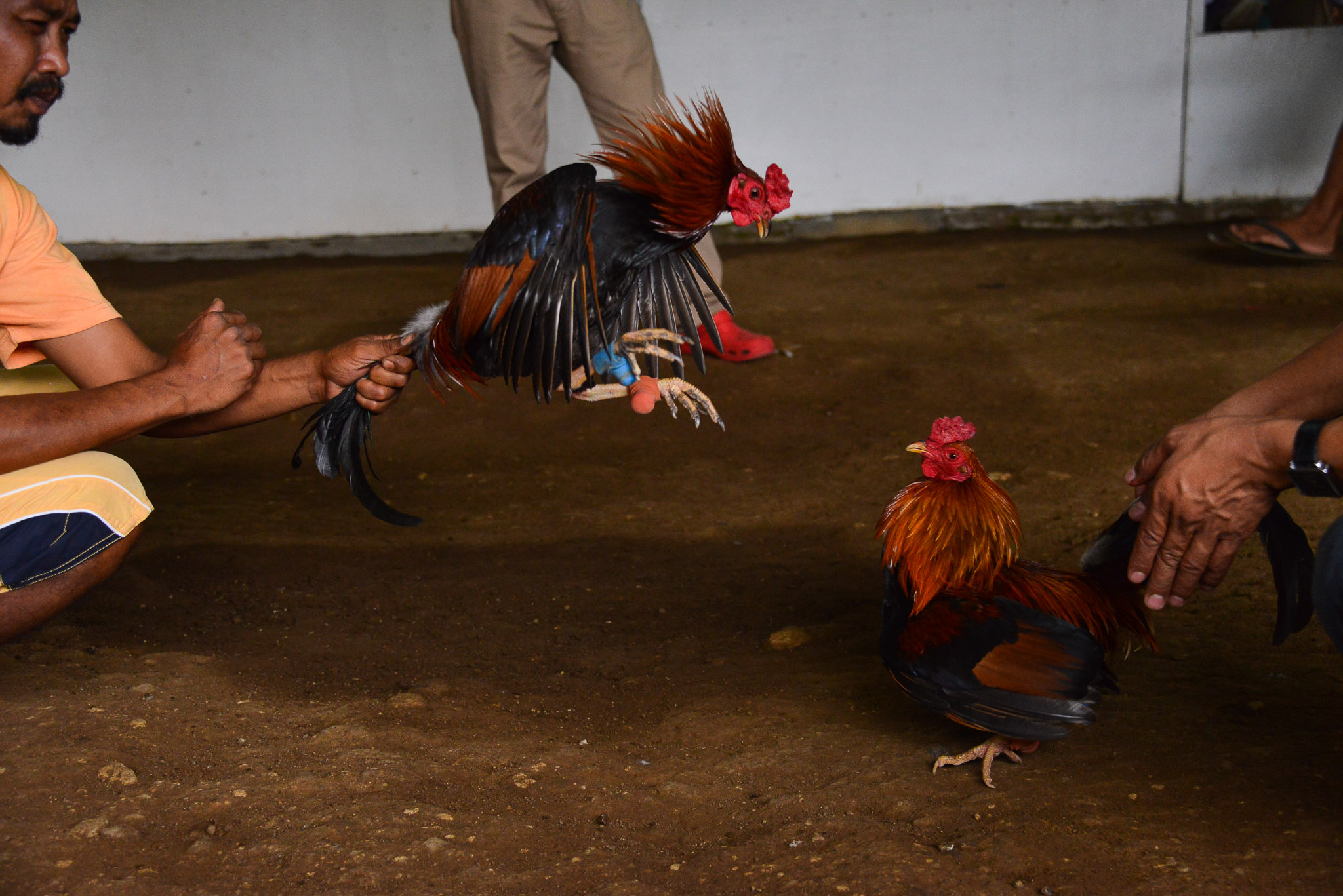 Rooster_Fighting_Philippines_29