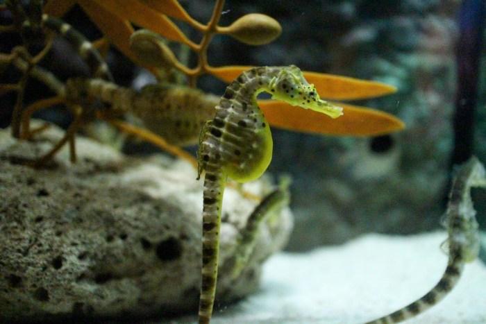 Sea Horse - Aquaria KLCC