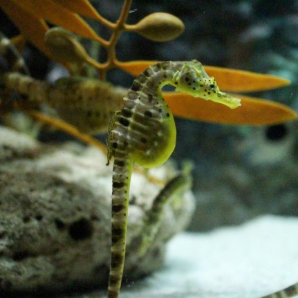 Sea Horse - Aquaria KLCC