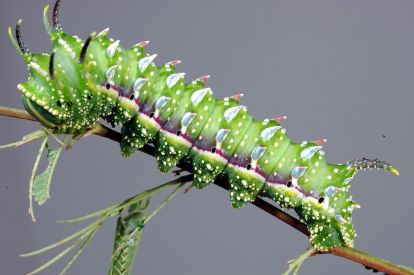 Hubbard's Small Silkmoth Caterpillar (Sphingicampa hubbardi), Clinton & Charles Robertson from Del Rio, Texas & College Station, TX, USA, CC Wikimedia