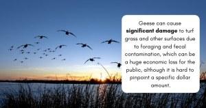 Natural goose repellent