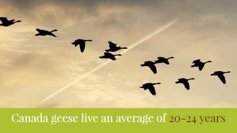 Goose Repellents