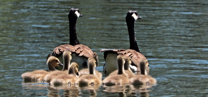 Goose Facts Nesting Geese