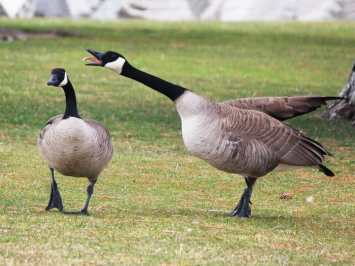 How to Keep Geese off your Lawn