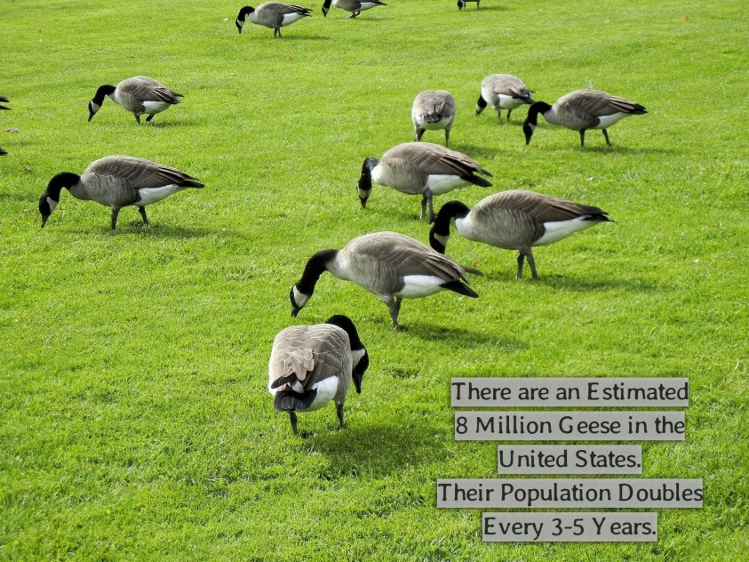 Eco-Friendly Goose Repellent
