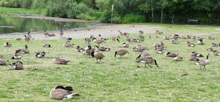 Goose Repellent for Canada Geese