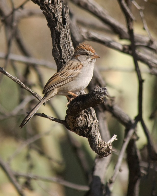 DSC_0046 rufous-winged sparrow-small