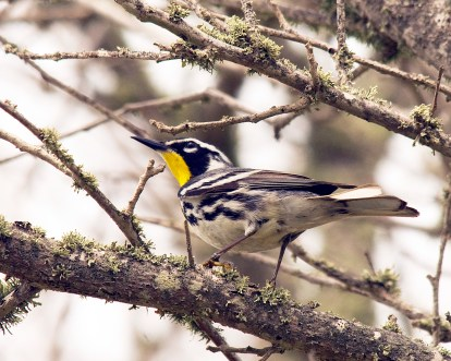 yellow-throated warbler 1