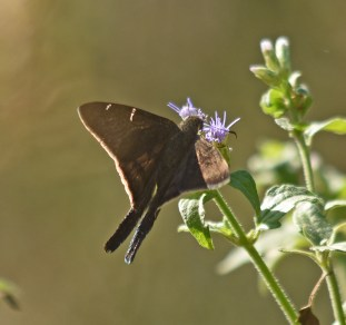 probable brown longtailed butterfly
