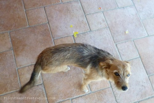 A guilty stray dog in Italy