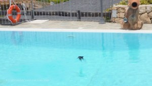 Bird flying about to drink from the swimming pool