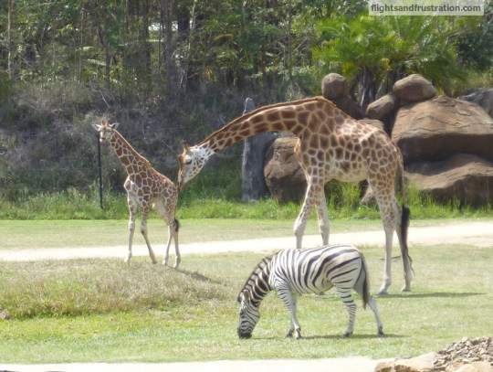 Mother and baby giraffe at the Steve Irwin Zoo