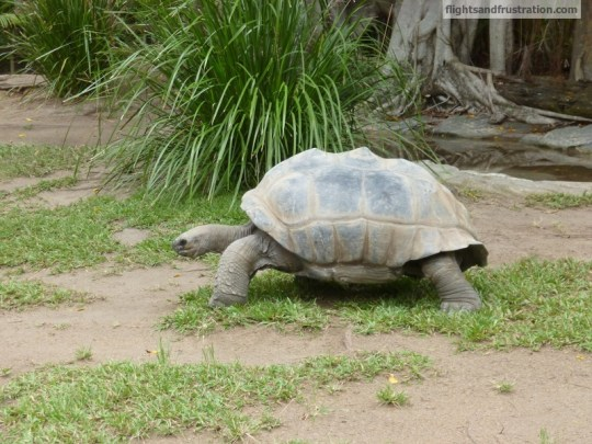 Aldabra Giant Tortoise on the run