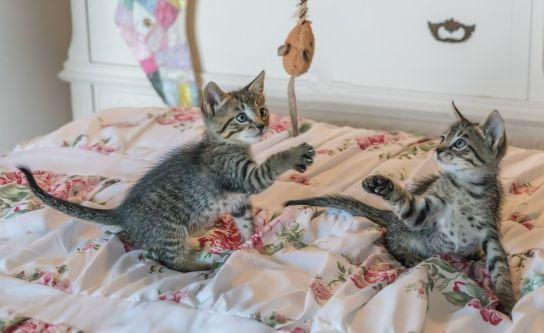 Gatos jugando