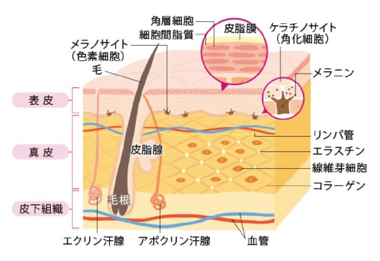 皮膚構造.jpg