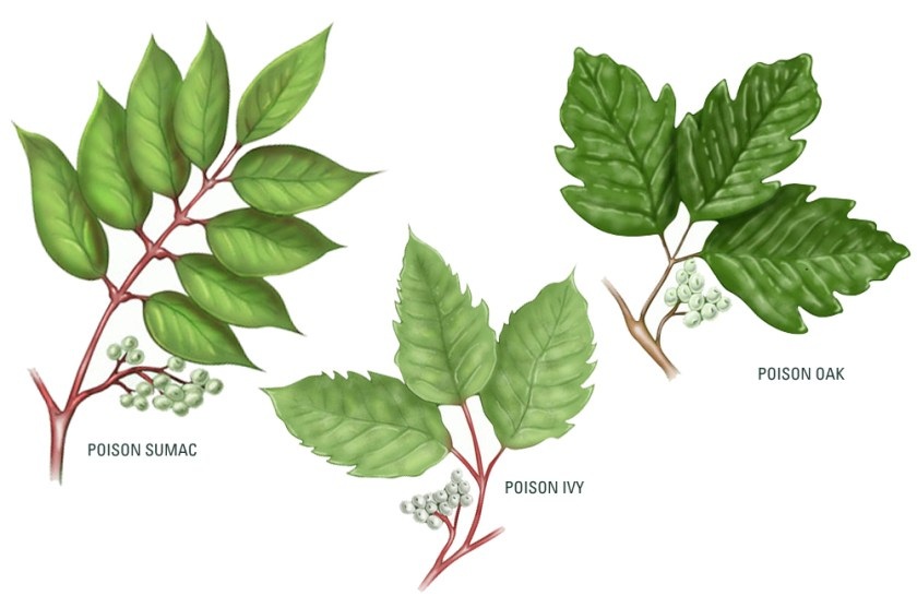 breastmilk-treatment-for-Poison-ivy-poison-oak-poison-sumac