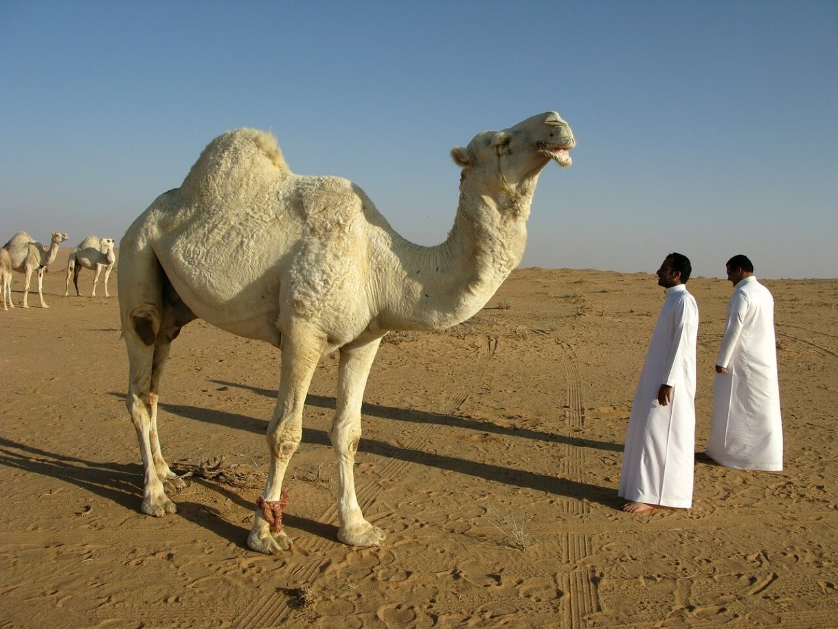 A camel standing in the desert