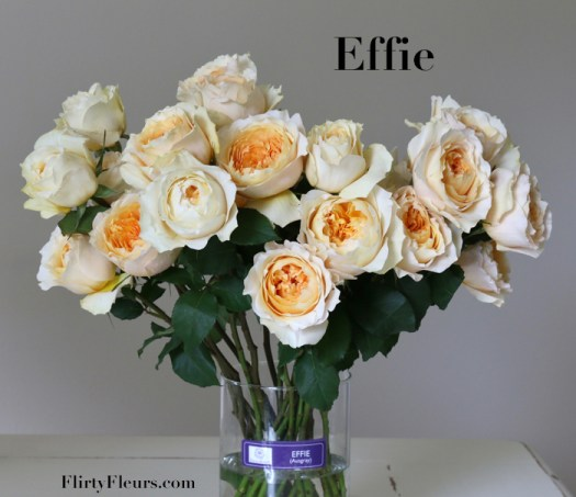 Flirty Fleurs Rose Study - David Austin Effie - Alexandra Farms