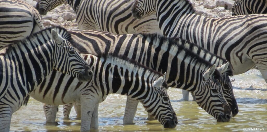 Zebras waterhole Etosha Namibia