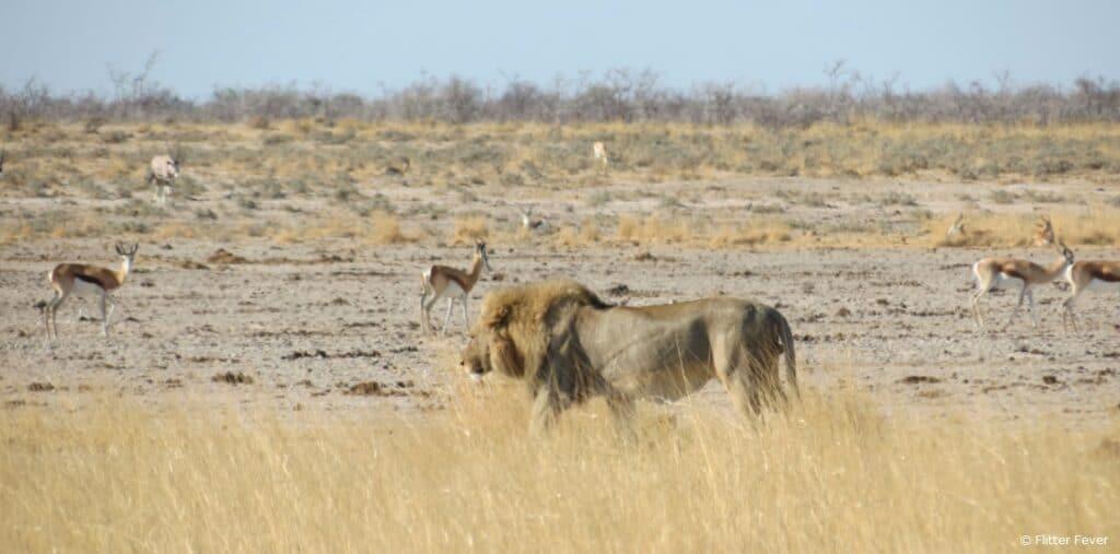 Lion and springbok Etosha Namibia