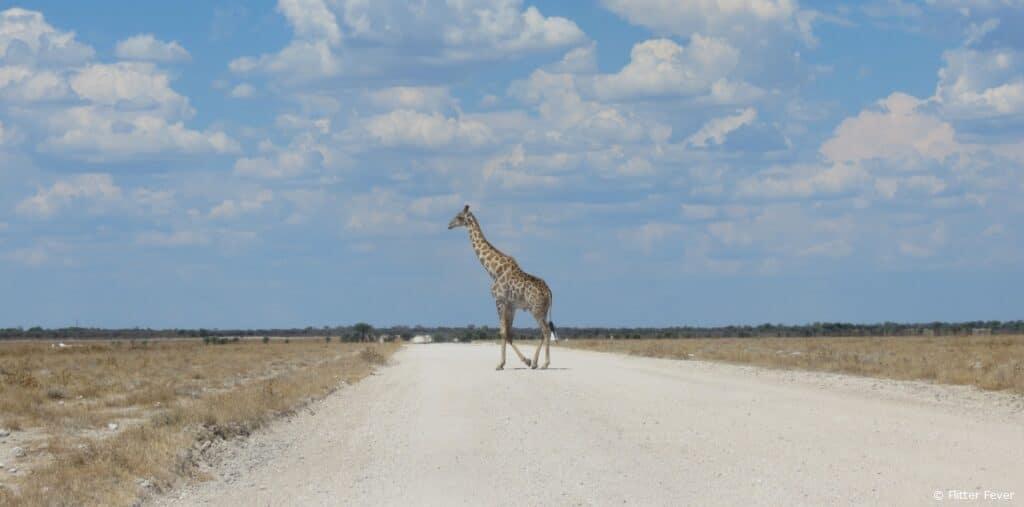 Giraffe crossing road Etosha pan Namibia