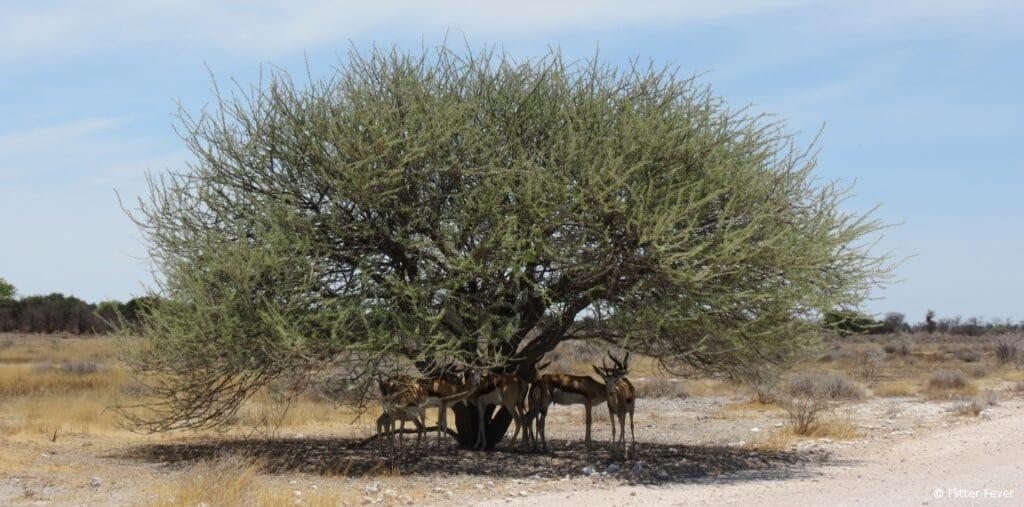 Springbokkies in tree shade Etosha Namibia