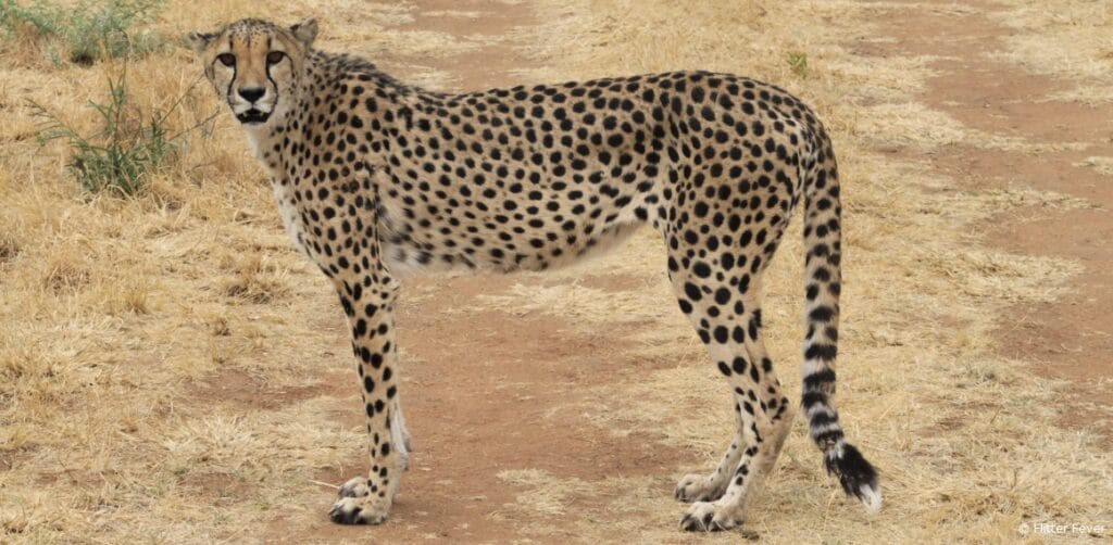 Cheetah Conservation Fund Namibia standing