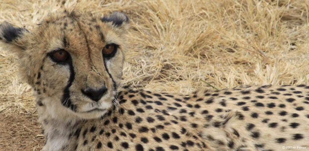 Cheetah Conservation Fund Namibia eyes
