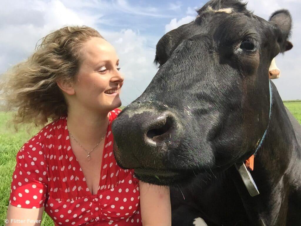 cow cuddling fun koeknuffelen hugging koe nederland holland netherlands beets melkunie campina friesland