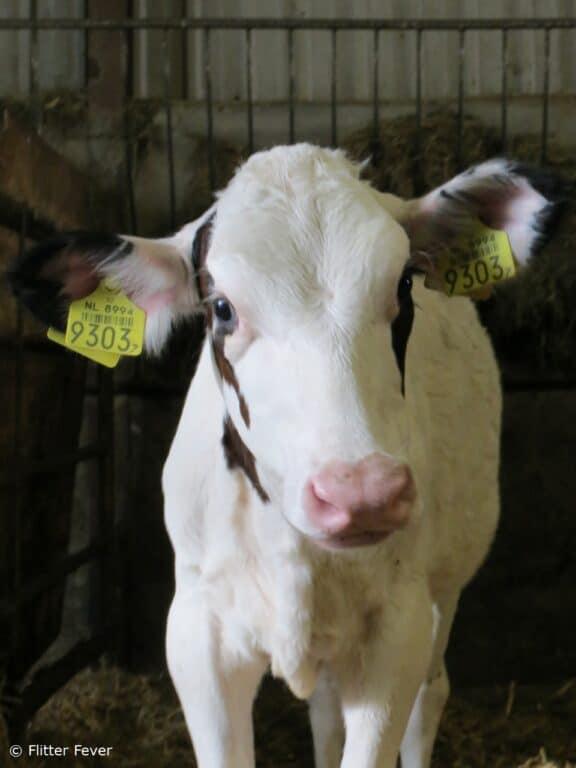 cute baby cow nederland koe netherlands holland blue eyes beautiful pink