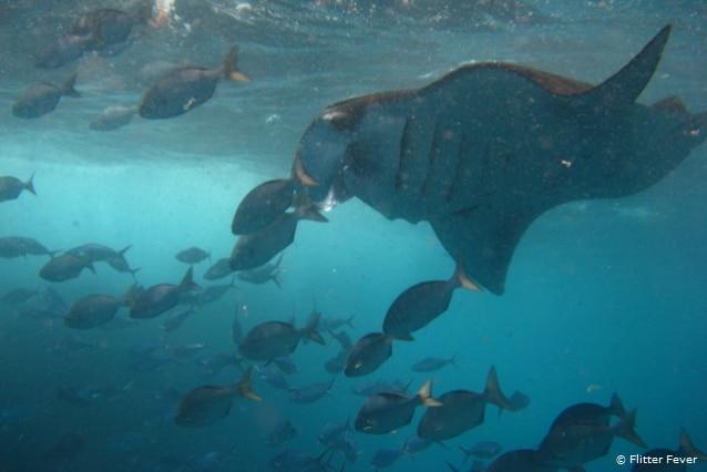 Manta rays & fishes at Manta Point, Bali