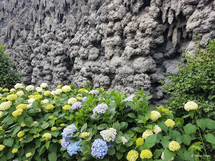 Hydrangea at Wallenstein Garden wall Prague